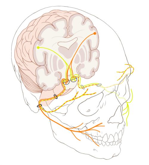얼굴근육의 움직임을 관장하는 뇌신경을 나타낸 그림. - Patrick J. Lynch 제공